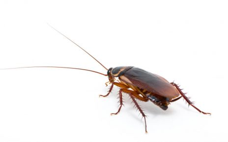 cockroach edinburgh 464x290 - Do You Have a Cockroach Infestation? Signs to Look Out For
