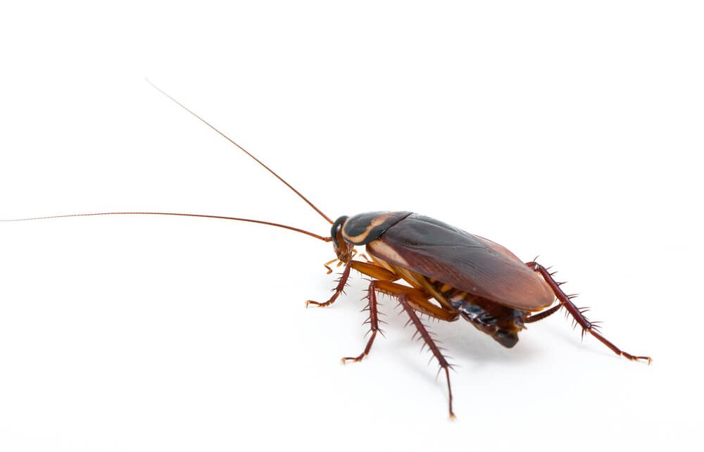 cockroach edinburgh 1000x642 - Do You Have a Cockroach Infestation? Signs to Look Out For