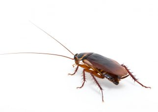 cockroach edinburgh 322x230 - Do You Have a Cockroach Infestation? Signs to Look Out For